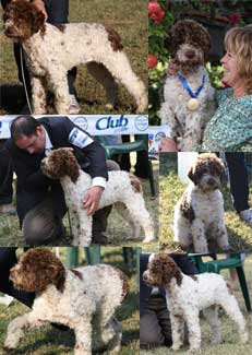 LK Emma - Lagotto Kennels show dog