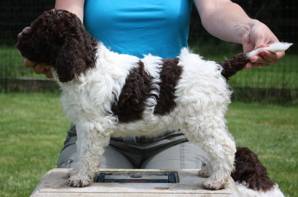 how to build a lagotto kennel