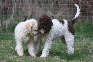 Lagotto Breed - Temperament