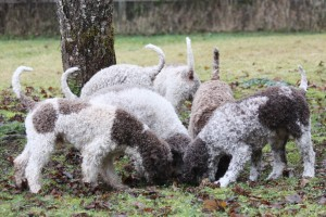 Lagotto Breed - Colour