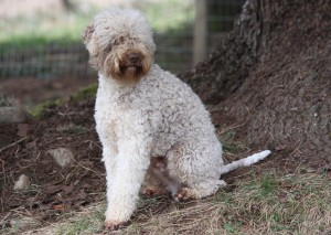 Lagotto Breed - Coat