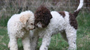 Lagotto Breed