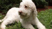 Animal Planet on Lagotto Breed
