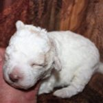 Lagotto Romagnolo Puppies for sale
