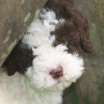 Previous Lagotto Romagnolo puppies