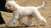 Show Dogs - Lagotto Kennels