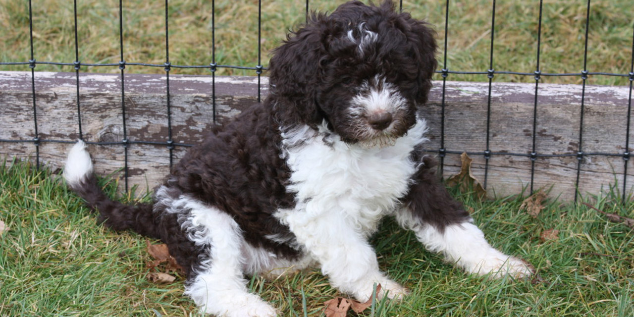Lagotto Kennels puppies