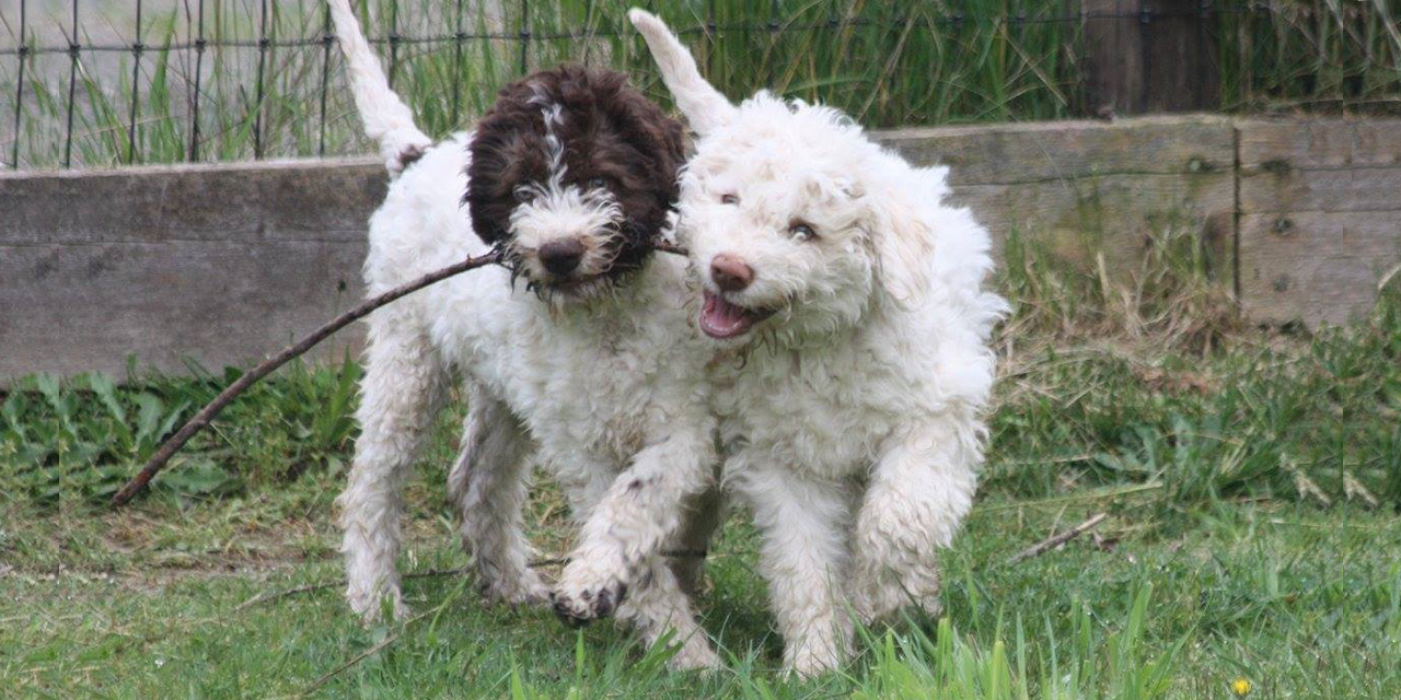 Lagotto dogs playing