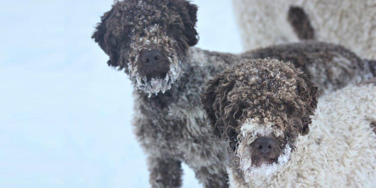 Lagotto dogs