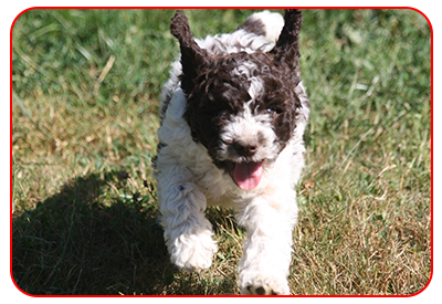 Animal Planet about Lagotto Romagnolo