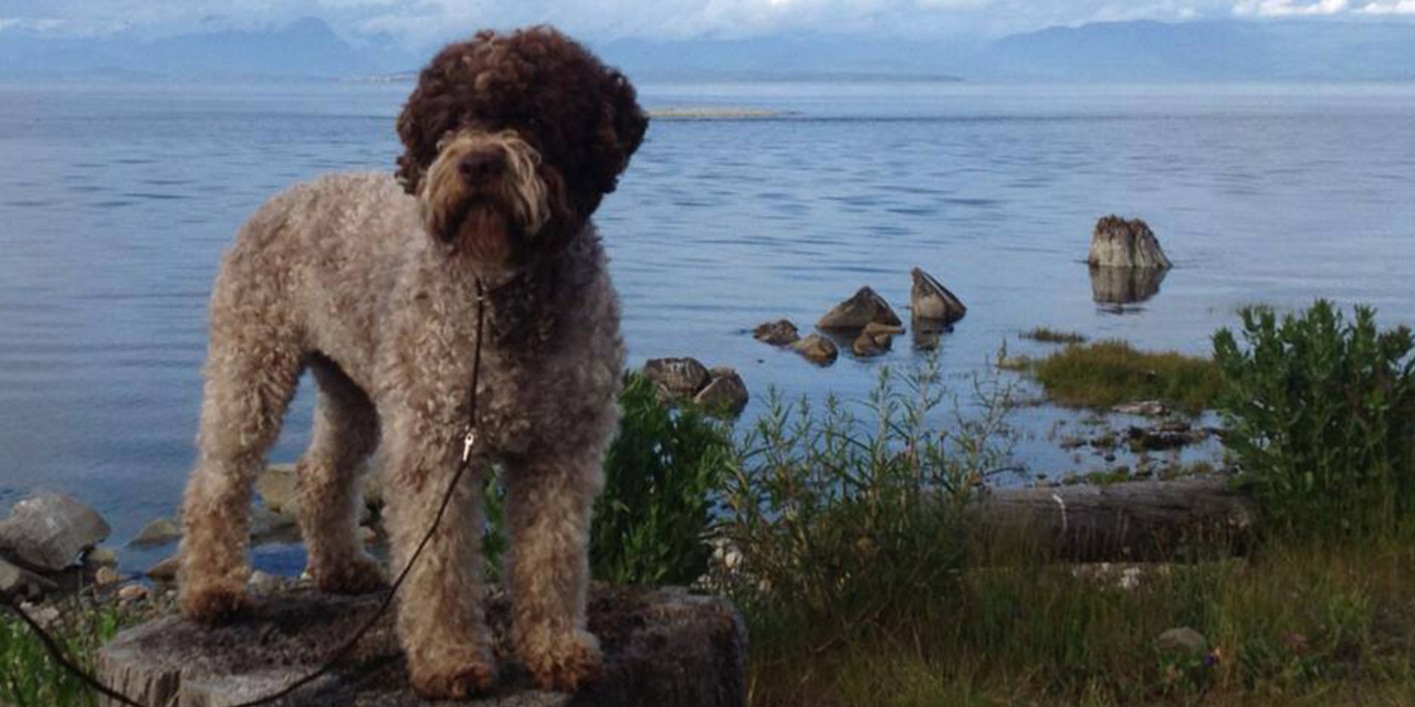 Lagotto Kennel's