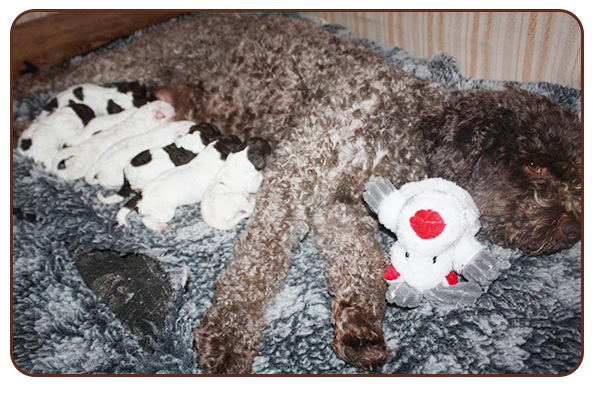 Lagotto Puppies for Sale