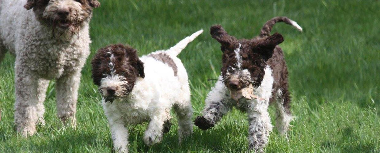 LK Pups playing